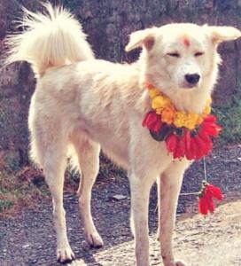 Why do Nepal Love and Cherish Dogs on their Festive Season